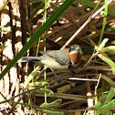 Western Spinebill (male)