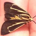 Banded Tiger Moth