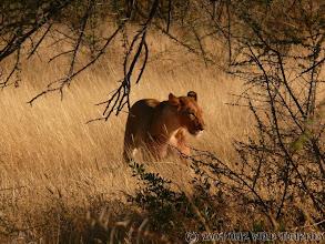 Photo: Lvice v Etoshe NP / Lioness in Etosha NP