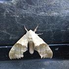 Modest Sphinx Moth