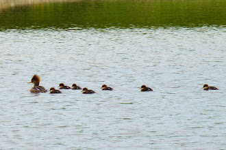 Photo: Female Hooded Merganser with its chicks