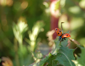 Photo: Requirements 2 & 3 (midground & bugs): I caught the ladybug mid-wingflap as it perched on the edge of a leaf. Its legs carefully clasp the ledge. The photo is focused on midground, though there are few elements in front of the subject that are out of focus. 1/100, f/5.6.  Post-production: slightly cropped.