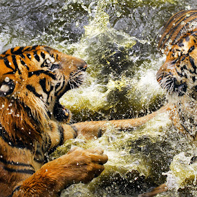 duel by Narsiskus Tedy - Animals Lions, Tigers & Big Cats