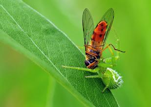 Photo: Misumena vatia, Goldenrod Crab Spider, Veränderliche Krabbenspinne, Araña Cangrejo  http://lepidoptera-butterflies.blogspot.com/