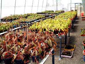 Photo: Maturing Nepenthes. Foto: R. Cantley.