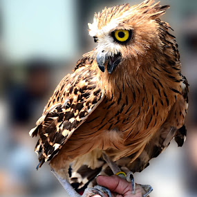 owl by Arifandi Krembong - Animals Birds ( bird, mistery, unique, pet, owl )