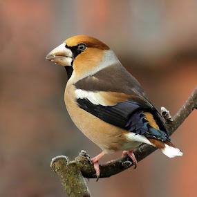 HAWFINCH by Ld Turizem - Animals Birds