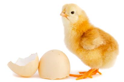 Chicken hatchery business plan in india