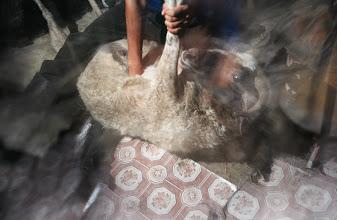 Photo: 03261 ハドブルグ家/ボートック(羊焼石料理)/首から下の皮を筒状に剥いだ中に、解体した肉と焼けた石を詰め戻して外側からさらに火で焼く。
