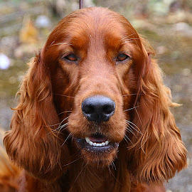 Not Another Photo!! by Chrissie Barrow - Animals - Dogs Portraits ( red, irish setter, long haired, mouth, pet, fur, ears, dog, teeth, nose, portrait, eyes )