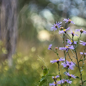 Garden in the forest... Dance with the fairies... by Mony Fifinková - Flowers Flowers in the Wild ( wild flower, aster amellus, helios 81n, vintage lens, nature, violet, forest, sony a77m2, bokeh, blossom, flower )