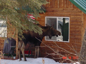 Photo: Moose giving a visit to cabin 2.