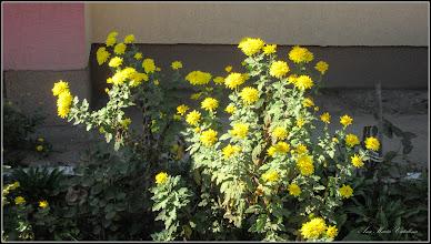 Photo: Crizanteme   din Turda - de pe Calea Victoriei,B15 - 2018.10.29