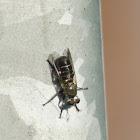 Atomosia Robber Fly