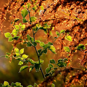 Autumn colors by Nani Garu - Nature Up Close Leaves & Grasses ( autumn, grass, colors, back light, leaves )