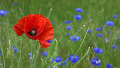 poppy in a field of cornflowers