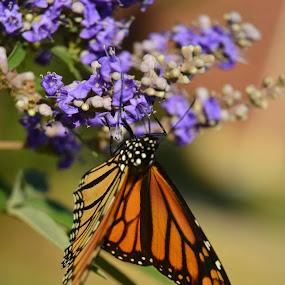 Monarch  by Chandal Chenier - Flowers Flower Gardens ( butterfly, monarch, fall, texas, flowers )