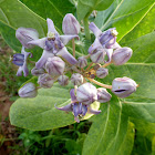 Crown Flower - Bowstring Hemp