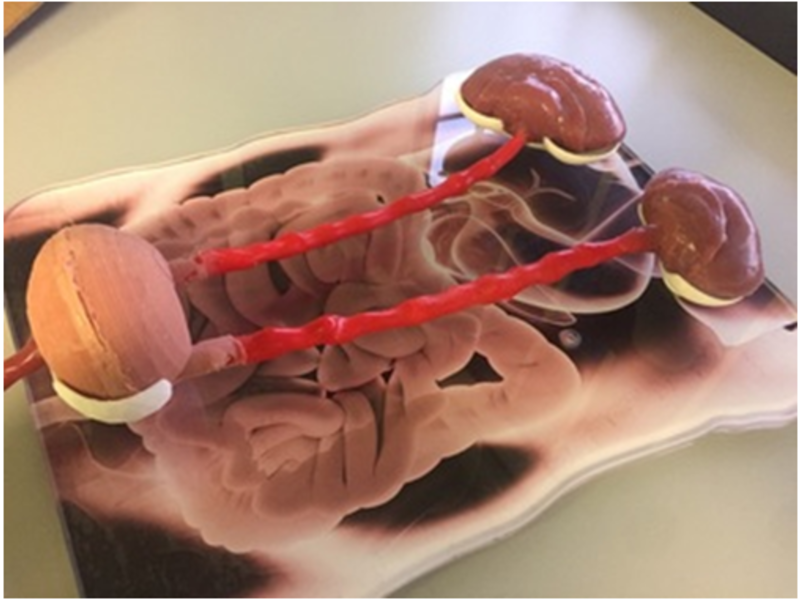A Complete Watertight Urinary System Including the Urethra, Bladder, Ureter and Kidneys