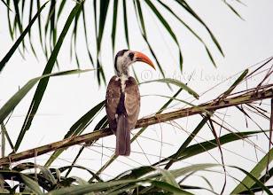 Photo: Toco piquirrojo (Tockus erythrorhynchus)