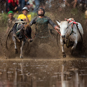 Pacu Jawi 2013 by JNJ PhotoStream - Sports & Fitness Rodeo/Bull Riding ( payakumbuh, indonesia, bukit tinggi, cow racing )