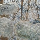 American Bullfrog eggs