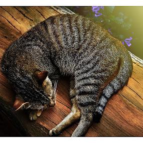 sleeping beuty by Sarol Glider - Animals - Cats Portraits