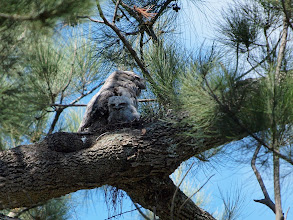 Photo: Tawny Frogmouth on nest with chicks