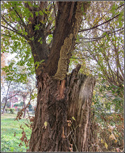 Photo: Ciuperci pe un stejar american de pe Calea Victoriei, Bloc B18 - 2018.10.19