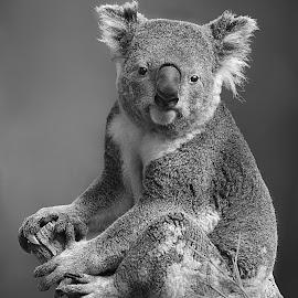 Koala Tree B&W by Shawn Thomas - Black & White Animals (  )