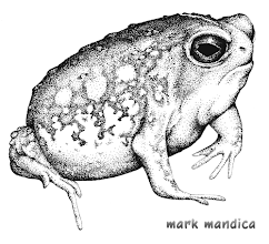 Photo: Breviceps adspersus | Flat face frog