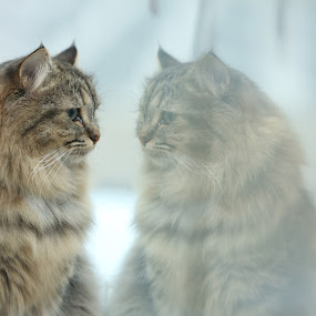 Is it me ? by Doris B - Animals - Cats Portraits ( mirror, cat, watching, majestic, proud,  )