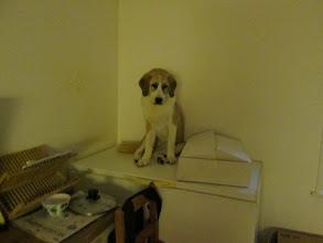 Photo: Helmi vartioi ettei kissat vie karitsanlihaa, murisi niille kun koittivat tulla haistelemaan laatikkoa.