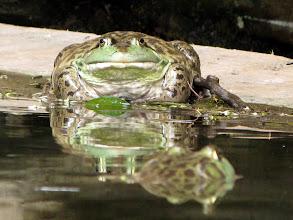 Photo: big frog :)