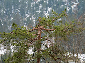 Photo: Spuren vom Wind in der Krone (Felix)