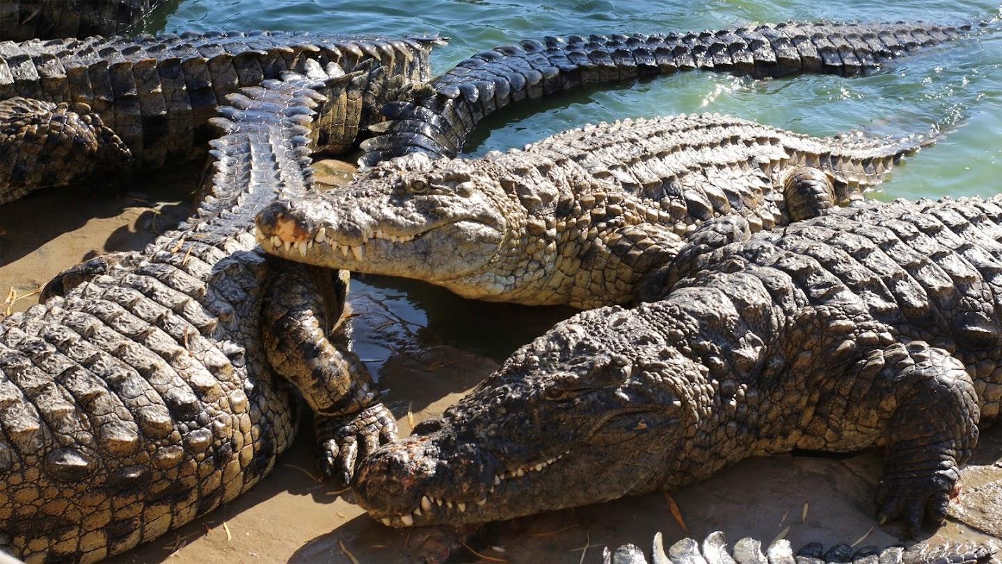 Watch Crocs of the Caribbean live