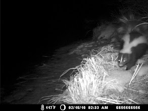 Photo: a mammalian visitor to an otter latrine