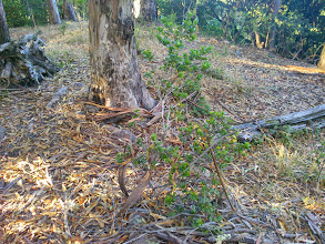 Photo: Oak sapling with eucalyptus bark hanging in it's canopy.