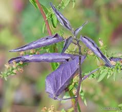 Photo: Nightshade leaves (Solanum dulcamara)