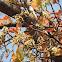 Mahua (Madhuca longifolia) ,मोह