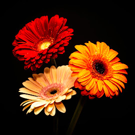 Three Gerbera Daisies by Debbie Quick - Flowers Flower Arangements ( spring, debbie quick, gerbera daisy, flora, daisy, three daisies, debs creative images, flower )