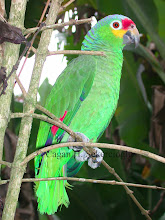Photo: Red-fronted Amazon