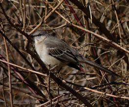 Photo: Northern Mockingbird at Donaldson Park...