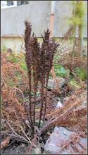 """Photo: Ferigă (Dryopteris filix-mas), fosta in """"tineretea ei"""" verde - din Turda, de pe Str. Rapsodiei, Nr.10-12, spatiu verde - 2018.10.31"""