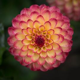 Razmataz by Janet Marsh - Flowers Single Flower ( razmataz, dahlia, dew, red and yellow )