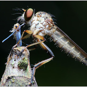RF by Hanif Mohamad - Animals Insects & Spiders