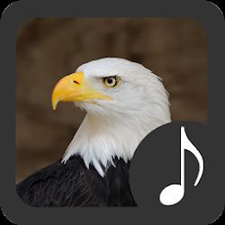 Bald Eagle Sounds