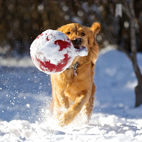 Winter Delight by Kimberly Davidson - Animals - Dogs Playing ( retriever, missy, winter, female dog, water dog, dog, golden, bird dog, golden retriever, animal snow ,  )