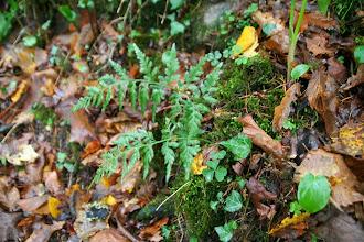 Photo: Asplénium adiantum noir, Ituribelar beltza (Asplenium adiantum-nigrum)