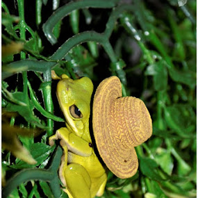 Tree frog with hat by Lisa Kirkwood - Animals Amphibians ( green leaves, frog, cuteness, hat, amphibian, amphibians )